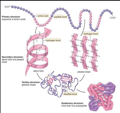 Proteine, Aminoacidi e Supplementi Proteici per la Crescita Muscolare